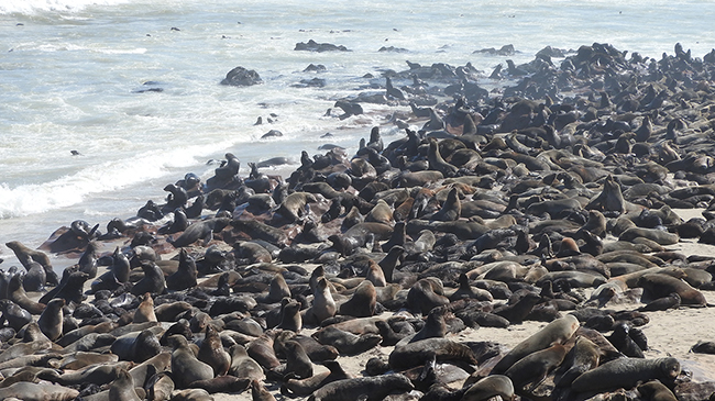 One of the world's largest fur seal colonies at Cape Cross.