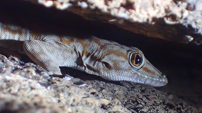 Fan-footed gecko in a rock crevice.