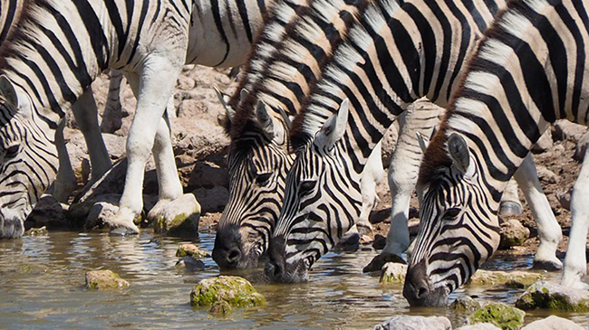 Zebras at watering hole.