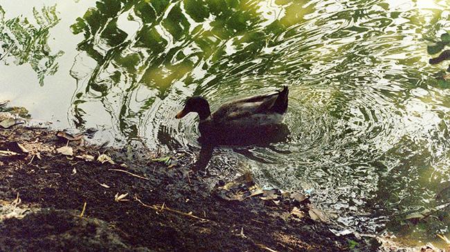 """A Duck Sends Waves"" (detail) by Subhranil De."