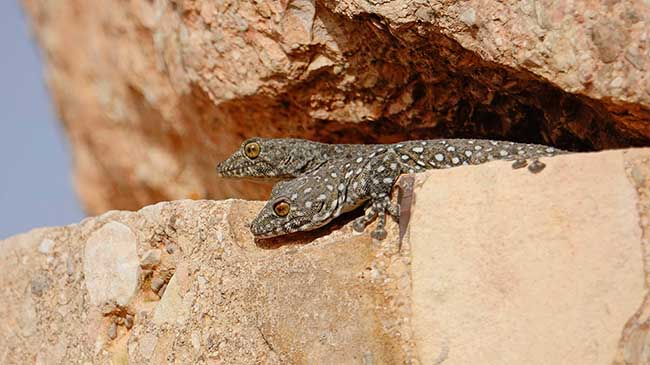 Levant fan-footed geckos. Photo by Omar Attum.