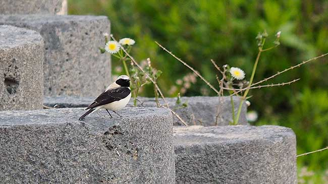 A black-eared wheatear amid the ruins. Photo by Omar Attum.