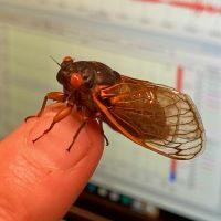 Cicada on Dr. Randy Hunt's fingertip.